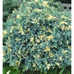 Juniperus squamata Floreant  (Ялівець лускатий Флоріант )