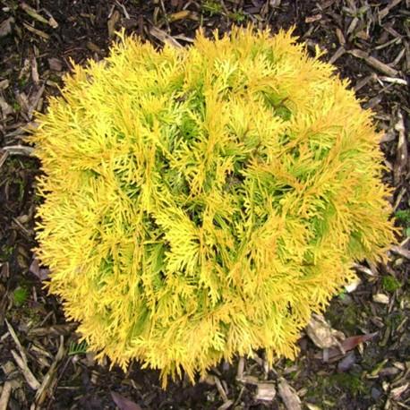 Туя західна Амбер Глоу (Thuja occidentalis Amber Glow)