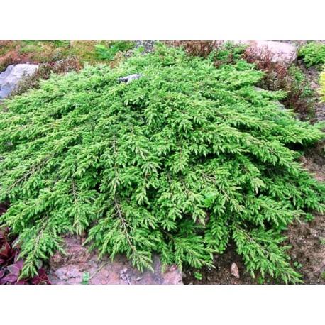 Ялівець звичайний Грін Карпет (Green Carpet)