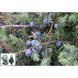 Ялівець прибережний Блу Пасіфік (Blue Pacific) Блю Пасифик
