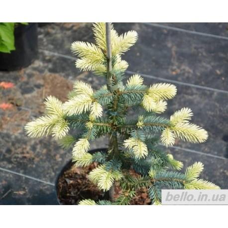 Ялина колюча Білобок (Picea pungens 'Bialobok')