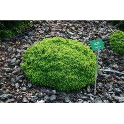 Ялина звичайна/ європейська Літл Джем (Picea abies Little Gem)
