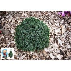 Ялина канадська Ехініформіс   Picea glauca Echiniformis