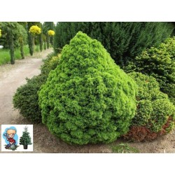 Ялина канадська Альберта Глобе (Picea glauca Alberta Globe) Ель