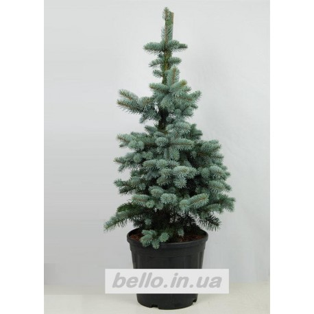 Ялина колюча Костер (Picea pungens Koster) Ель колючая