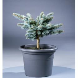 Ялина колюча Глаука Глобоза (Picea Glauca Globosa) Ель, Ялинка