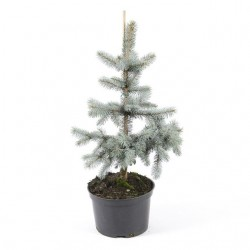 Ялина Хупсі  (Ялинка) Picea pungens Hoopsi Ель, Ялинка