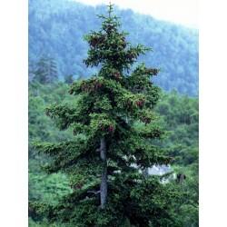 Ялина аянська (Picea jezoensis) Ель ая́нская