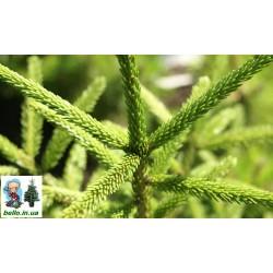 Ялина східна Голден старт (Picea orientalis Golden Start) Ель кавказька