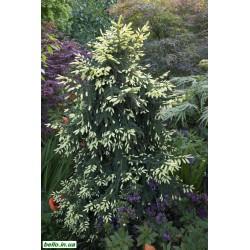 Ялина східна Ауреоспіката (Picea orientalis Aureospicata / Aureа) Ель кавказька