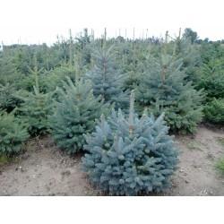 Ялина колюча блакитна Кейбаб ( Picea pungens Glauca Kaibab )