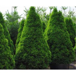 Ялина канадська Коніка Ель канадская Коника  Picea glauca Conica
