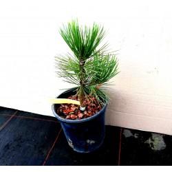 Сосна Гельдрейха / бiлокора Компакт Джем Pinus heldreichii / leucodermis Compact Gem Сосна Гельдрейха / белокорая Компакт Джем
