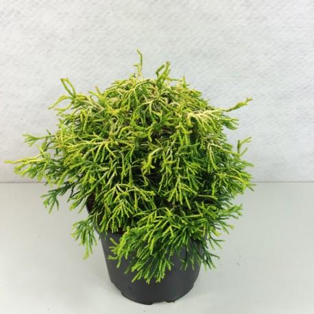 Кипарисовик тупий Цацумі Голд Chamaecyparis  obtusa Tsatsumi Gold