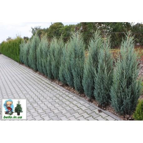 Ялівець скельний Мунглоу  Juniperus scopulorum Moonglow