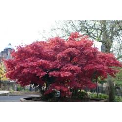 Клен віяловий / пальмолистий Атропурпуреум (Acer palmatum Atropurpureum)