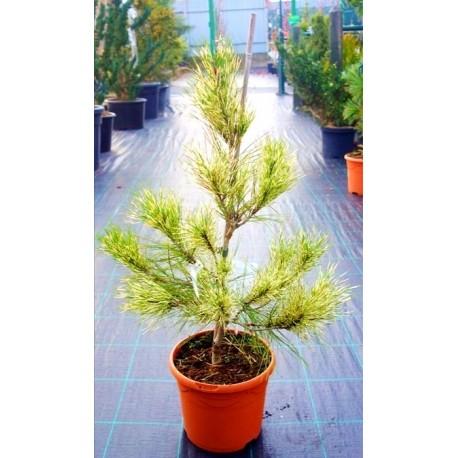 Сосна густо цвітна Окулус Драконіс Око дракона Pinus densiflora Oculus draconis