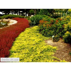 Ялівець горизонтальний Голден Карпет (Golden Carpet)