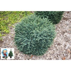 Ялина сербська Карел (Picea omorika Karel) Ель