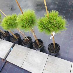 Сосна чорна Бамбіно Pinus nigra Bambino