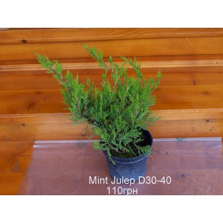 Ялівець середній / пфітцеріана Мінт Джулеп Juniperus media / pfitzeriana Mint Julep