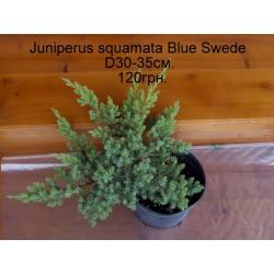 Ялівець лускатий Дрім Джой  Juniperus squamata Dream Joy