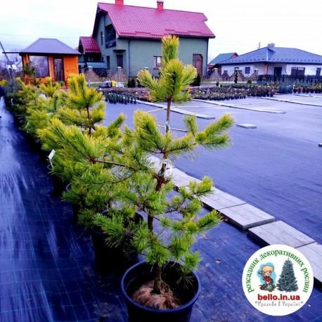 Pinus sylvestris Aurea Сосна звичайна Ауреа купить саженци сосни