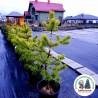 Pinus sylvestris Aurea Сосна звичайна Ауреа