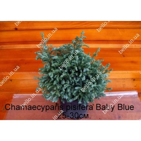 Кипарисовик горохоплідний Бебі Блю Chamaecyparis pisifera Baby Blue