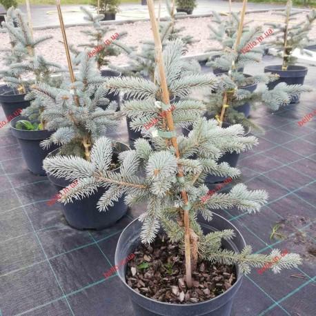 Ялина колюча Білобок Picea pungens Bialobok Ель голубая