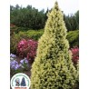 Ялина канадська Дейзі Уайт  Picea glauca Daisy's White