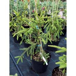 Ялина звичайна Акрокона  Picea abies Acrocona