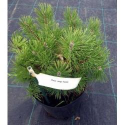 Сосна гірська Пуміліо Pinus mugo 'Pumilio'